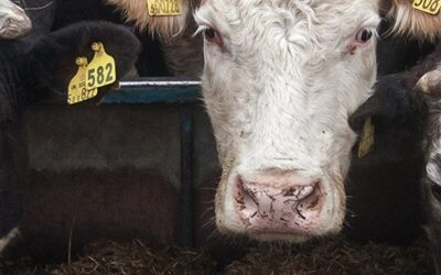 Vet Cows Carlisle